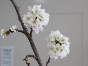 一足早い桜